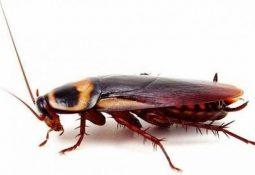 Hamam böcekleri Neden Evlere Girer ?